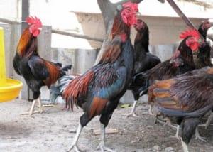 Cách chọn gà ngon