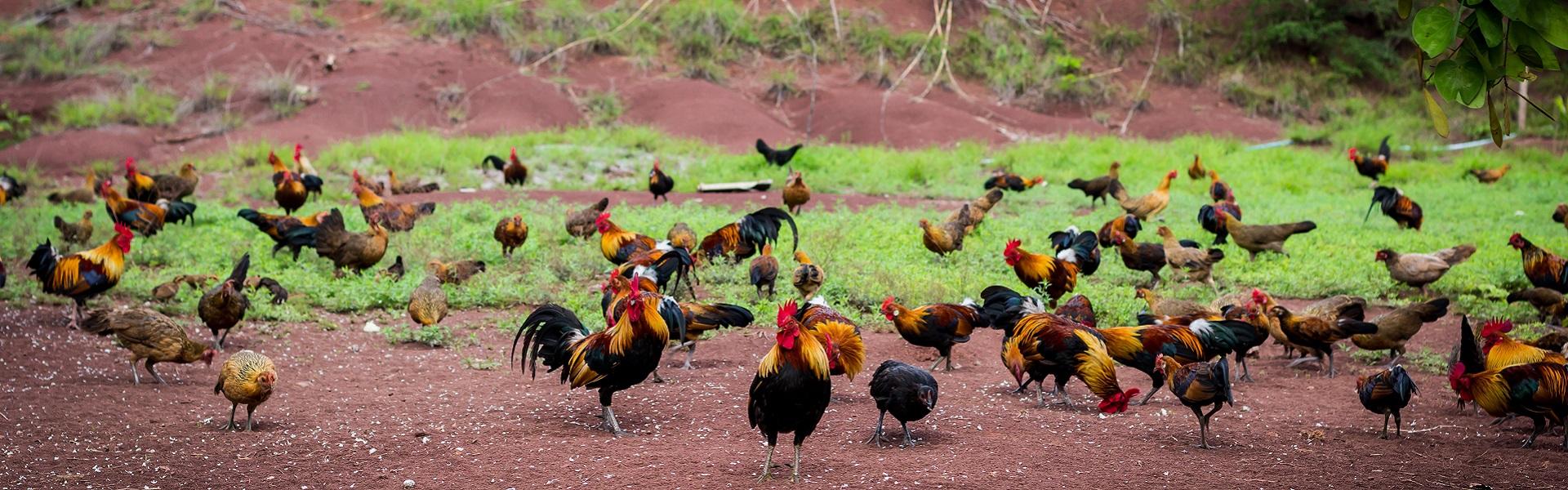 Trang trại gà tươi Mạnh Hoạch