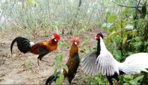các loại gà rừng việt nam